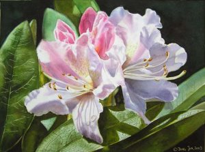 Realistic Rhododendron Flower Painting, white and pink Rhodie with detailed leaves on Reeves Watercolor Board