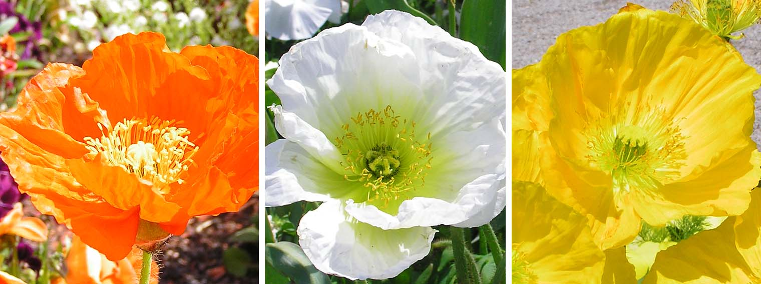 Mohnblumen Poppies In Different Colours Yellow Poppy White Poppy