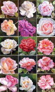 Collection of rose paintings of garden roses, elegant roses in watercolor