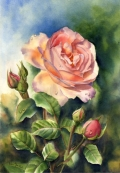 Peach creamy coloured pink rose After The Rain - Rose Watercolor Painting by Doris Joa
