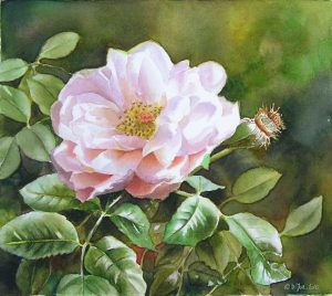 Watercolor Painting of Garden roses - white and pink with leaves and background in watercolor