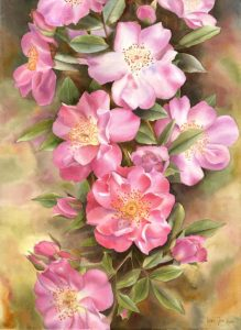 Rose Painting with many pink roses painted as a step-by-step-demonstration in watercolor