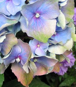 Reference photo for the blue Hydrangea watercolor online lesson