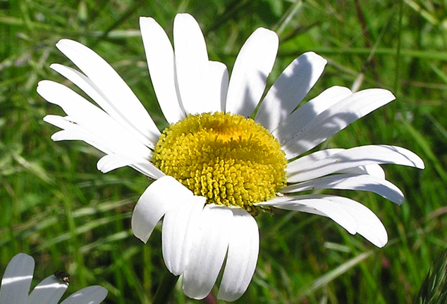Reference photo of the white daisy for watercolor dvd and online painting lesson