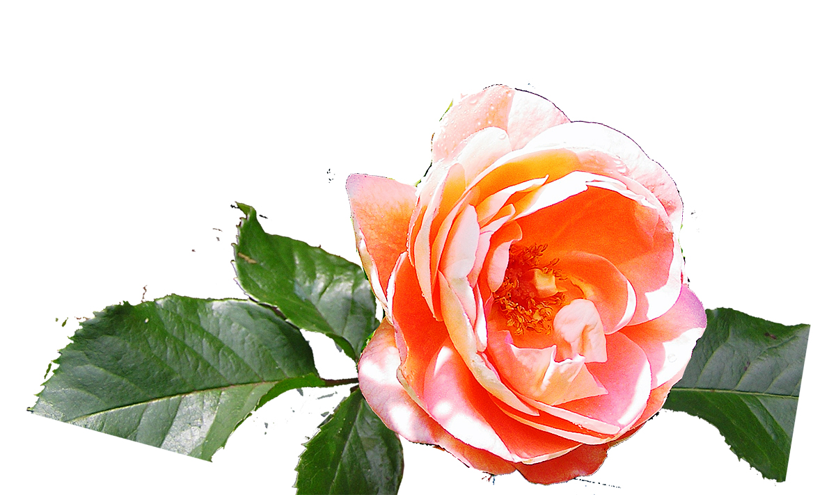 Reference photo of the glowing orange rose for the watercolor dvd and online video lesson