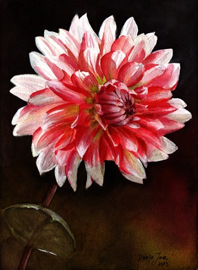 Red white Dahlia in watercolor - flower painting by Doris Joa