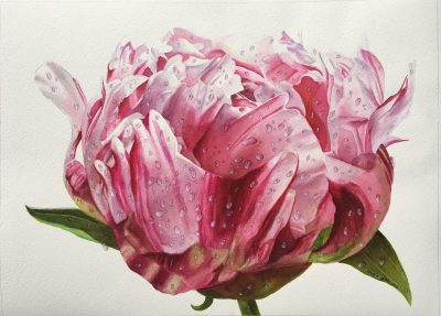 Pink Peony Bud with dewdrops - realistic watercolor paper
