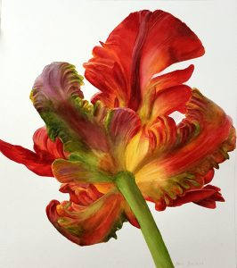 Parrot Tulip - Botanical art - flower painting in watercolor on white background