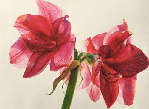 Red Amaryllis Flower Painting in watercolor