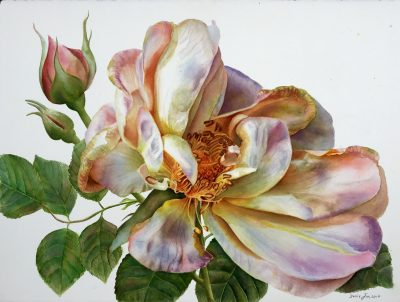 Large rose painting on white background in watercolor