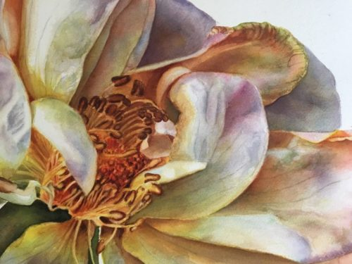 detail of large rose painting on white background in watercolor