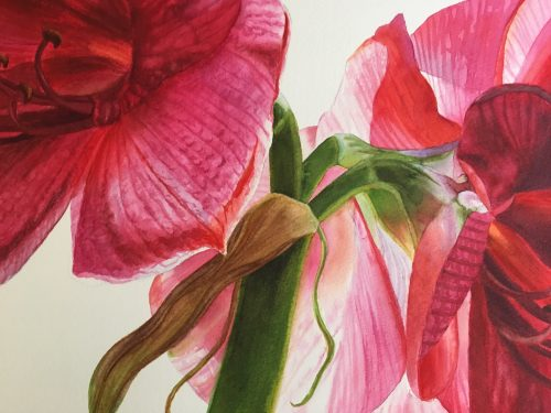 Detail of red amaryllis flower painting in watercolor
