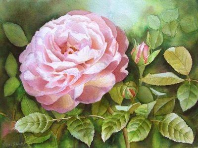 David Austin's Rose Heritage in watercolor