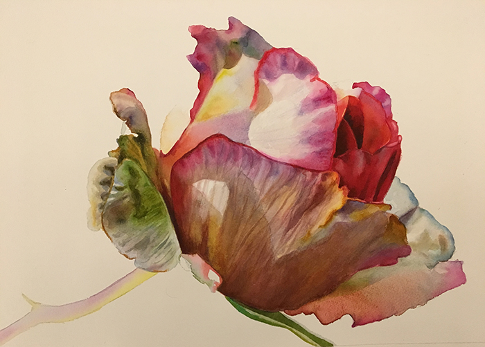 work in progress of a pink rose bud in watercolor - rose paintings in watercolor by Doris Joa