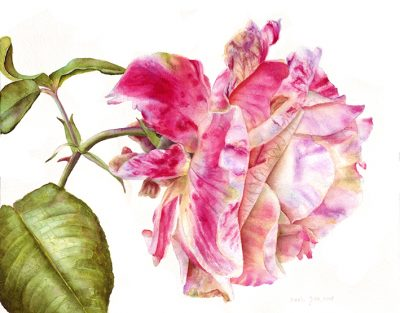Beautiful pink rose painting in watercolor on white background - botanical artwork